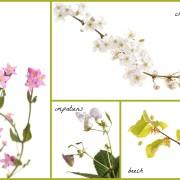 bachflowers