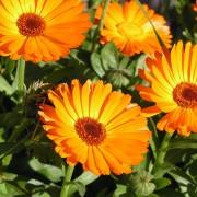 calendula_flowers_herbs_meadow_summer_34570_1920x1080