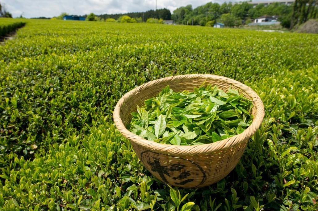 green-tea coltivazione big