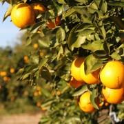 aranceto-agricoltura-sicilia-ultimatv-e1484074622137